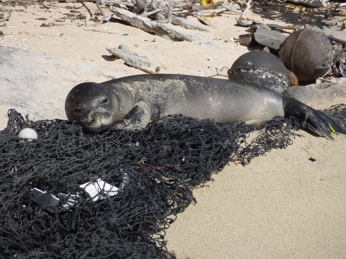 sea lion caught in net
